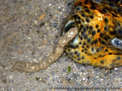 Stichopus ocellatus