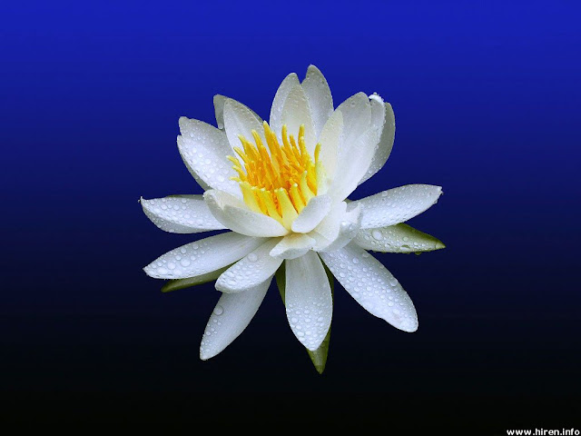 ������ ���� ������� 2016 ���� white-water-lily-4a.