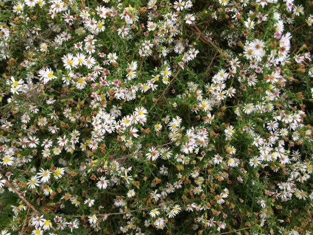 Washingtongardener native spotlight small flower white aster native spotlight small flower white aster mightylinksfo