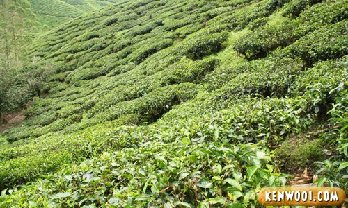 cameron highlands tea plant