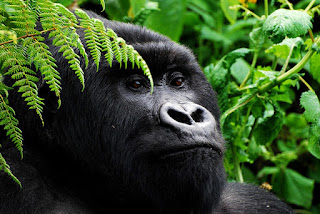 4 days Rwanda luxury gorilla tour,  rwanda gorilla tour 2 treks, double track gorillas rwanda, luxury safari rwanda, cheap Gorilla trek Rwanda,mid-price Rwanda gorilla tour, gorilla safari, budget tour rwanda, Rwanda, rwanda tour operator, rwanda tour company, gorilla tour agent, gorilla