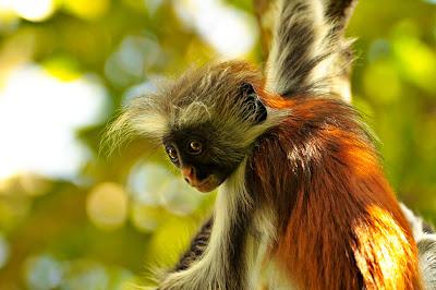 Chango Red Lobus en su hábitat natural (Los Simios)