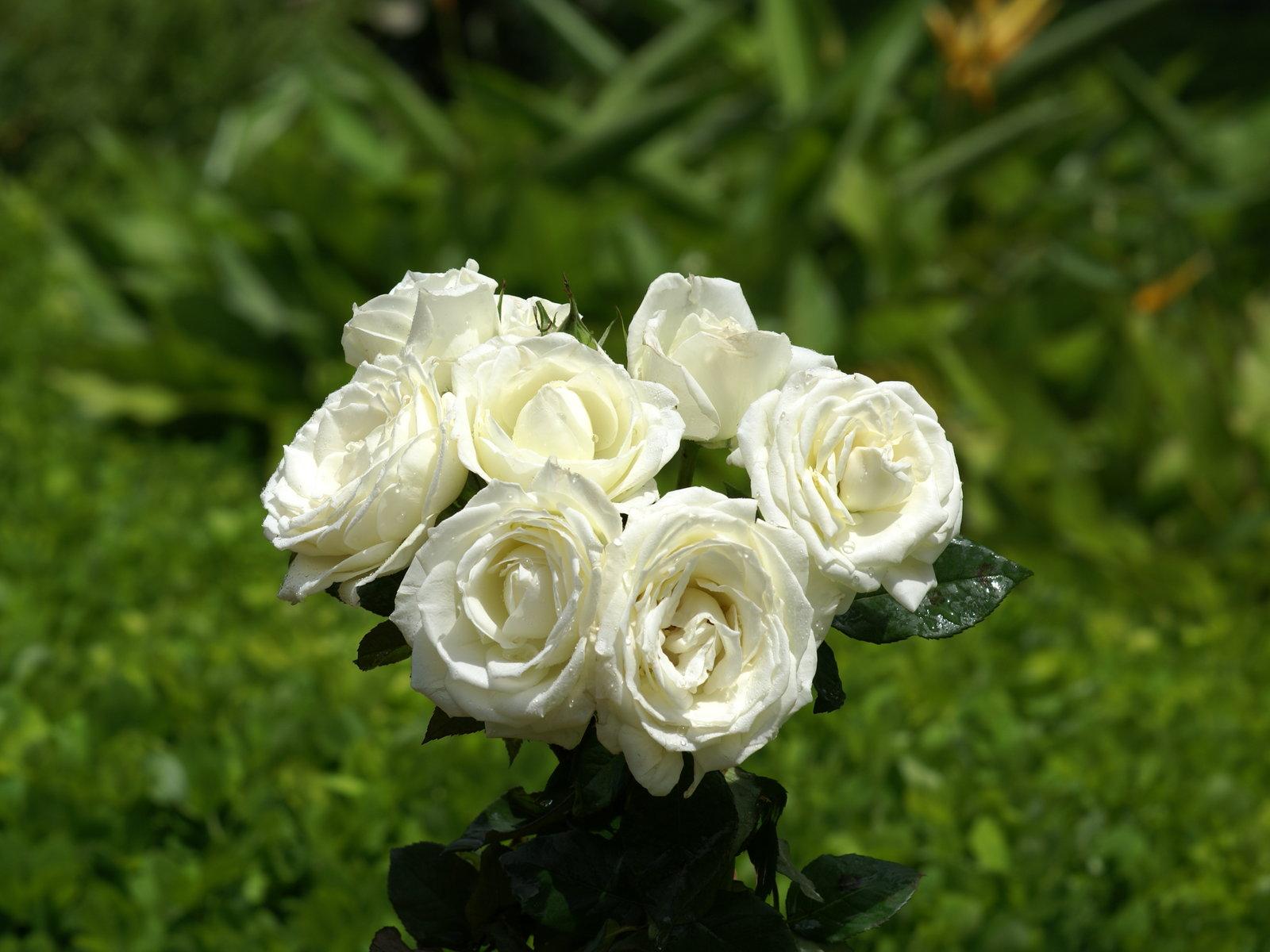 Imagenes de flores hermosas amarillas - Rosas rosas hermosas ...