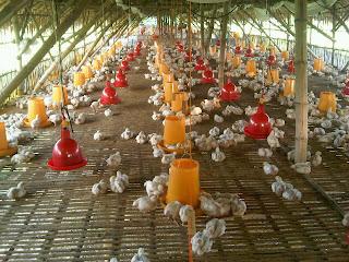 Pasang surut peternakan ayam di Indonesia
