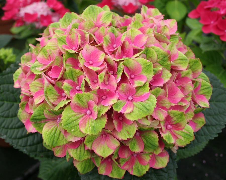 B D Lilies Garden Blog Everlasting Hydrangeas Bloom