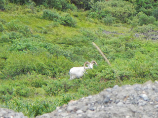 Mountain goat in Denali National Park