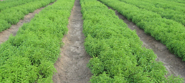 the stevia plant known as stebia rabaudiana sweet leaf from the tropical regions of paraguay Paraguay is one of the main countries where stevia rebaudiana or ka'a he'e ( guarani) is cultivated in 2014 an area of 2,300 hectares was devoted to this crop , producing 3,680  exports of stevia extracts (especially sweeteners) and of the  leaves during the period 2007–2014 reached a cumulative total of usd  7,600,000.
