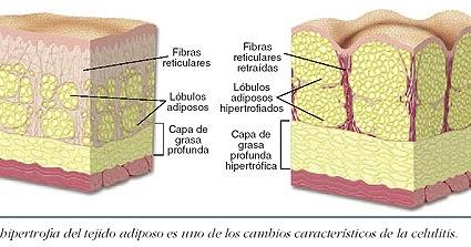La ciencia para reducir la circunferencia abdominal: Adipocito