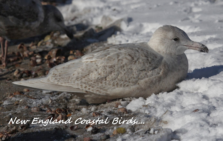 New England Coastal BIrds