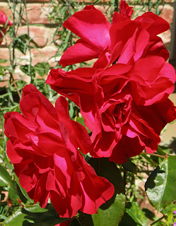 Three Rose Blossoms