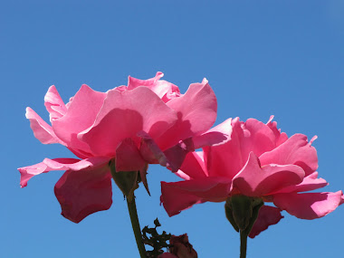 Perfume Pink Roses against the Vivid Blue Sky!