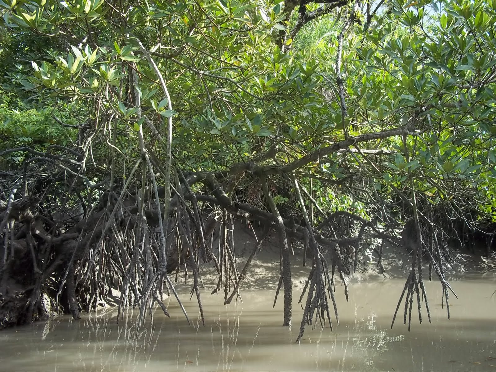 the sundarban forest Sundarban is the only mangrove forest in the world which is the home of tiger sundarban tiger reserve has the highest tiger population in the world.