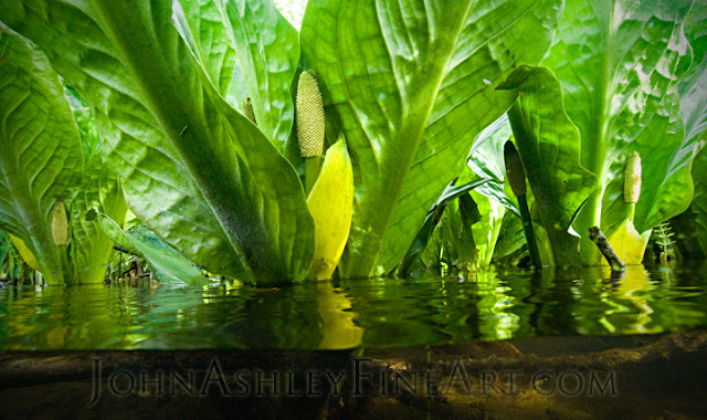Western Skunk Cabbage (c) John Ashley