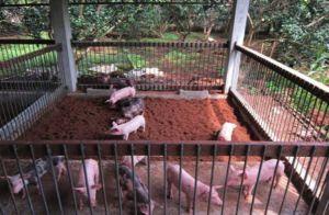 Một mô hình chăn nuôi trên đệm lót sinh học