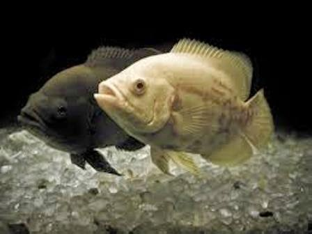 The Oscar Most Popular Freshwater Fish Freshwater Fish