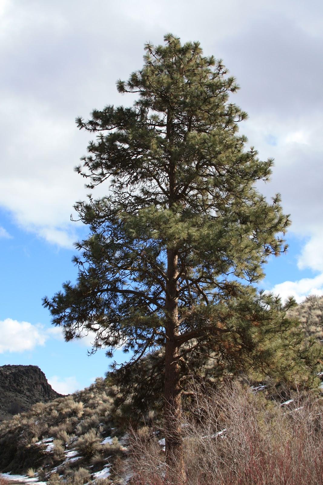 Ponderosa Pine Tree Images firedclay: February 20...