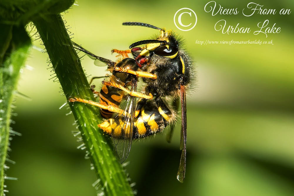 Wasp Eating a Hoverfly - Great Holm, Milton Keynes