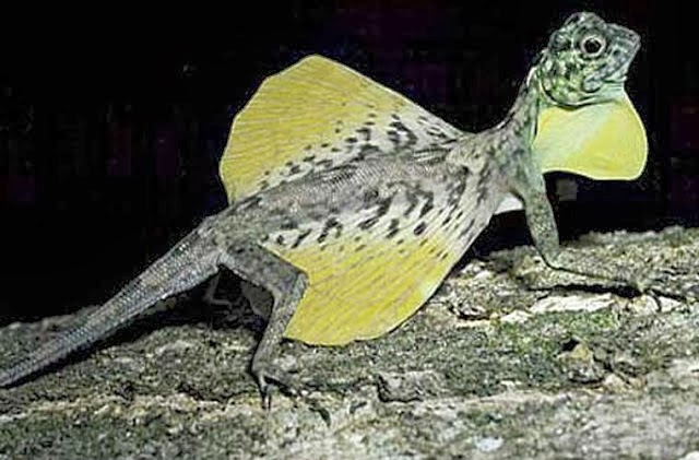 Draco volans lizard