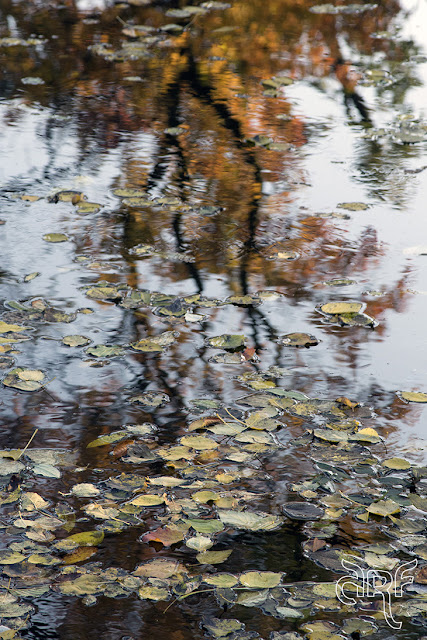 floating leaves and a reflection in water