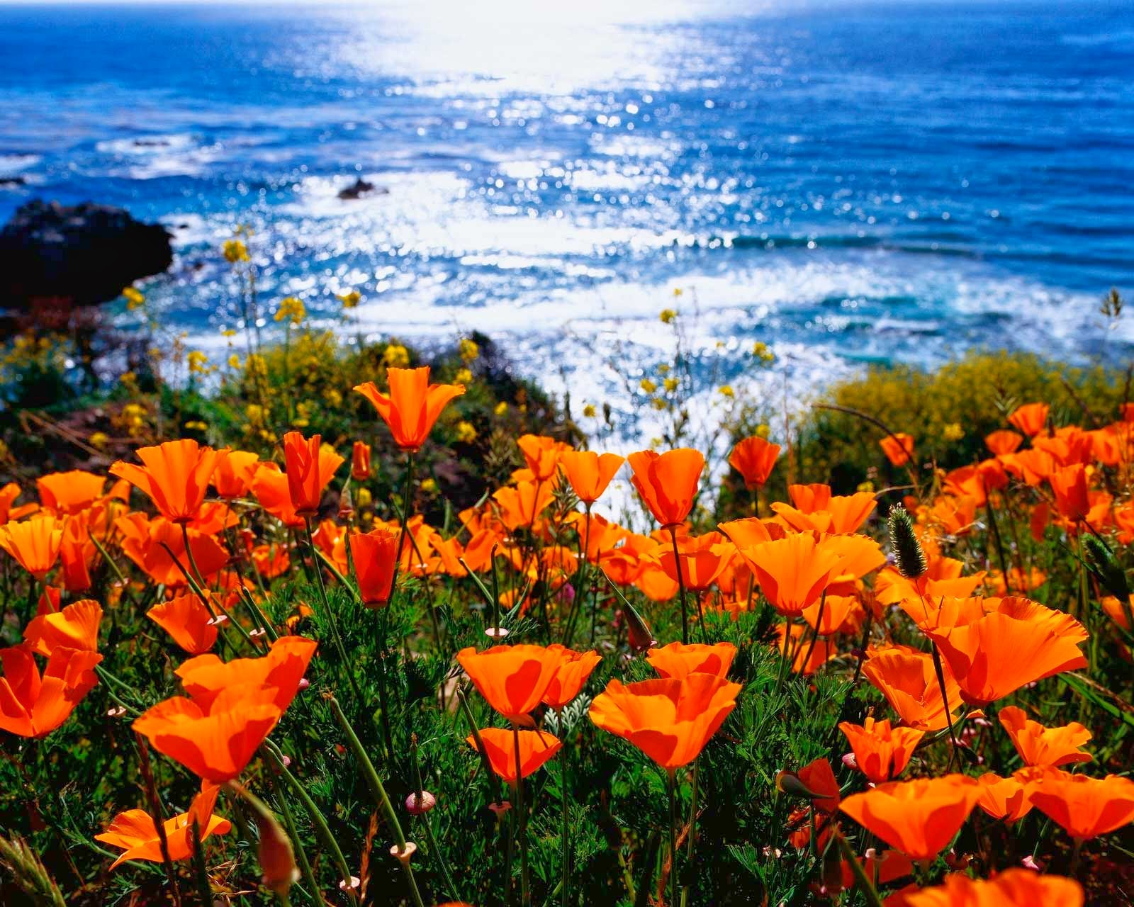 Butterflies and heart songs im still here enjoying the california our state flower the california poppy is in full bloom almost everywhere you look mightylinksfo