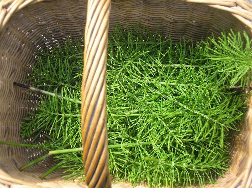 Horsetail salve, get your own back on this weed and see its usefulness #foraging #saveourskills