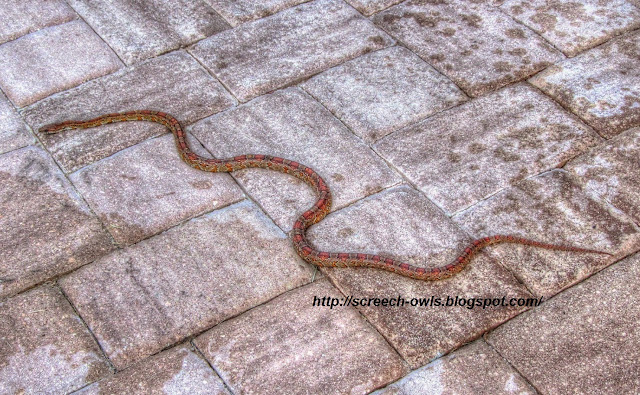Florida Red Rat Snake or Corn Snake