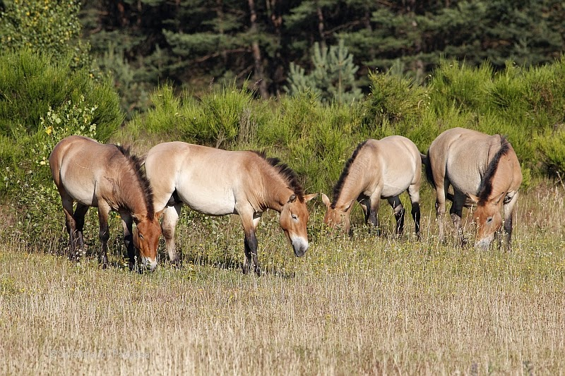 Wild Horses in Tennenlohe