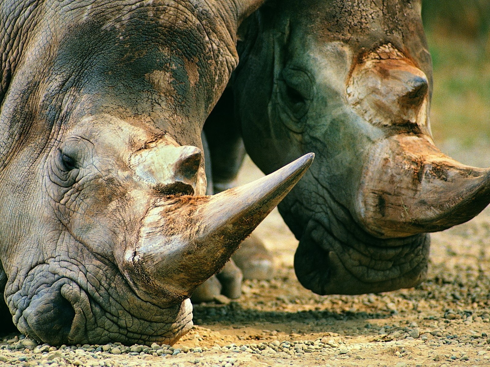 Rinocerontes salvajes