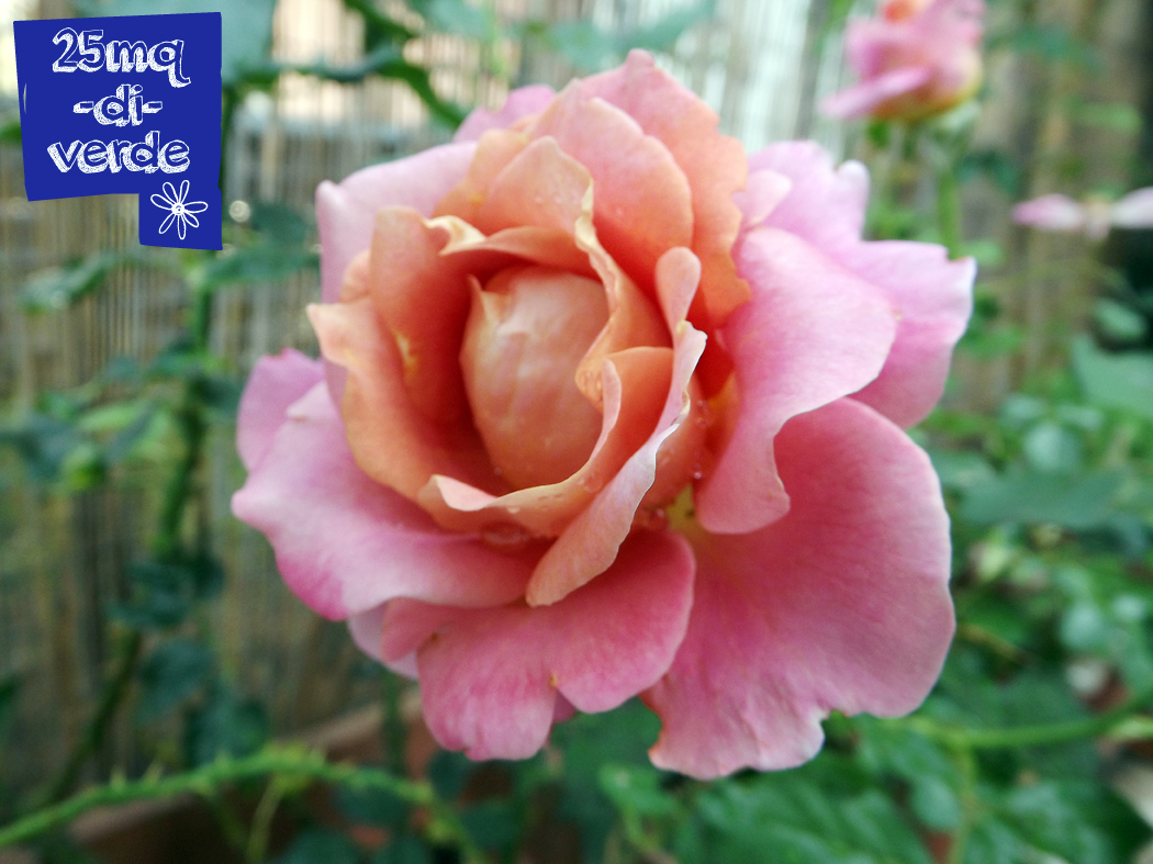 Rose random belle epoque 25mq di verde for Foto di rose bellissime