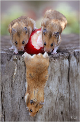foto ratos comendo maçã