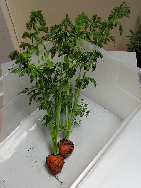 Bucolic bushwick indoor vegetable gardening harvest carrots for Indoor vegetable garden