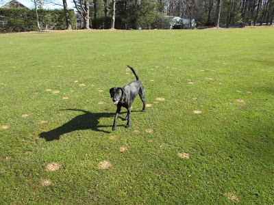 A dog standing in a field affected by Microdochium patches
