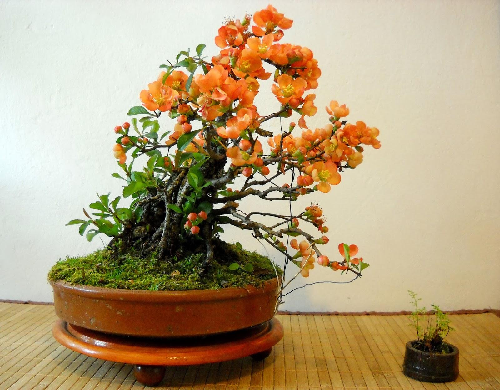 Chin Bonsai Chaenomeles Japonica Neagari