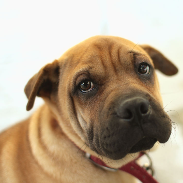 Sharpei Pug mix Puppy 2