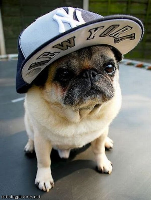 Funny dog in a cap.