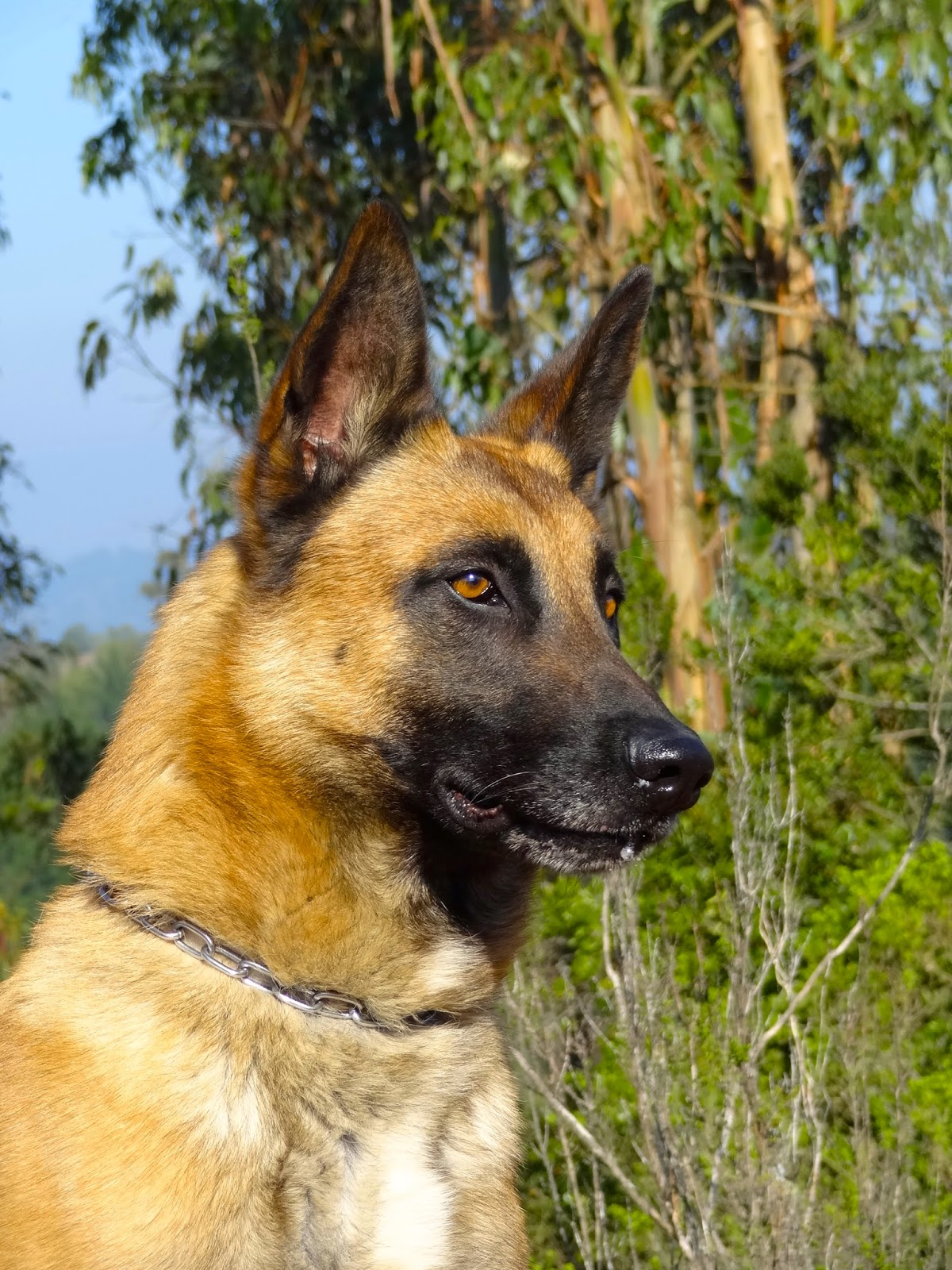 New Stud Malinois Vox IPO3