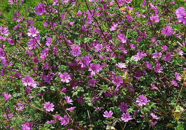 Malva preissiana (Australian Hollyhock, Native Hollyhock)