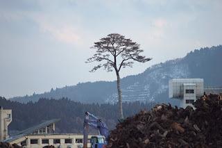Pino Sobreviviente a Tsunami en Japon, Monumento y Simbolo