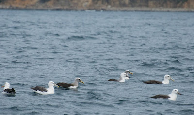 Black-browed Albatross, Buller's Albatross,Shy Albatross