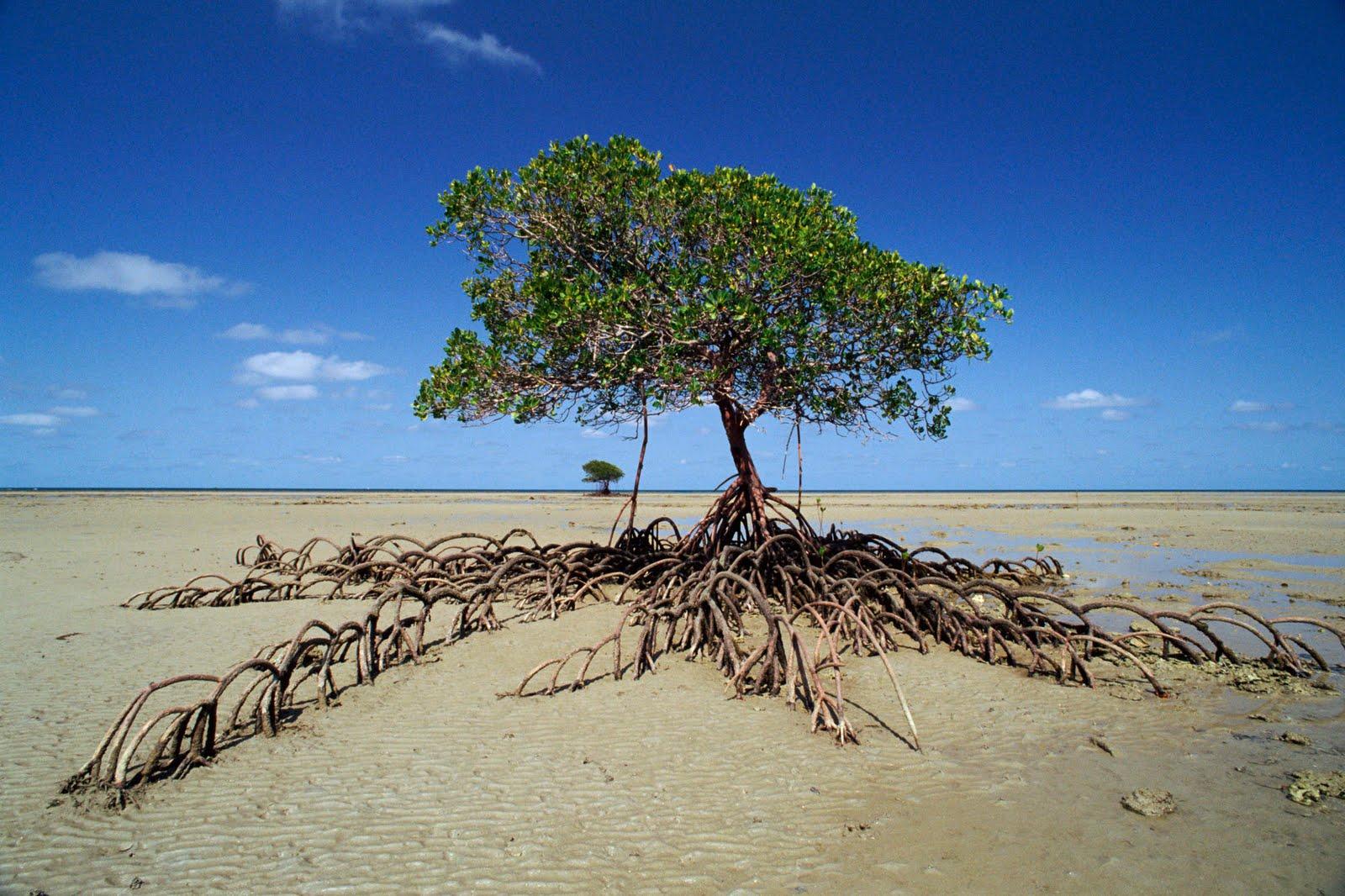 Australia Mangrove Trees