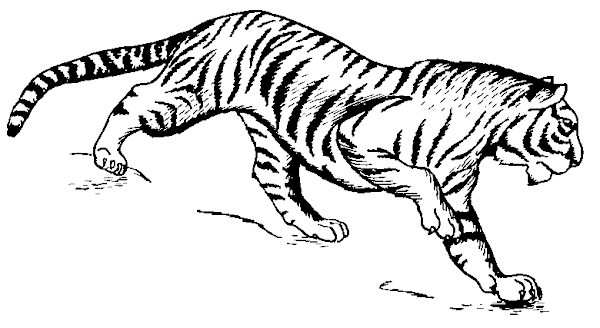 Black and White Tiger Drawings