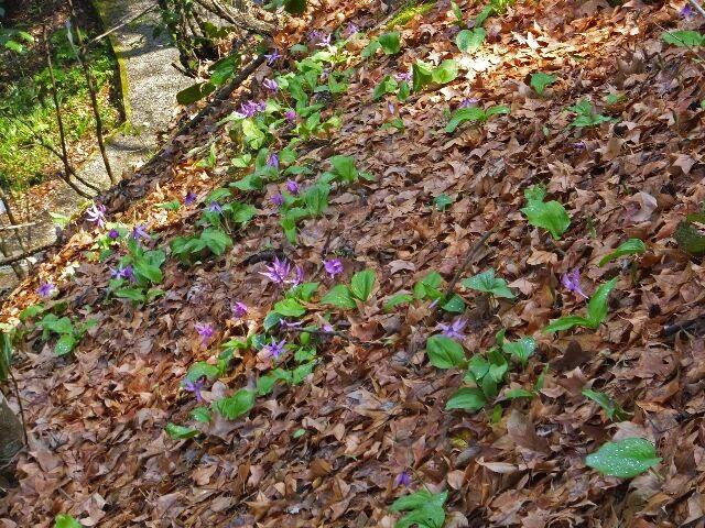 群生地?たくさんのカタクリの花が愛らしく咲いていた。