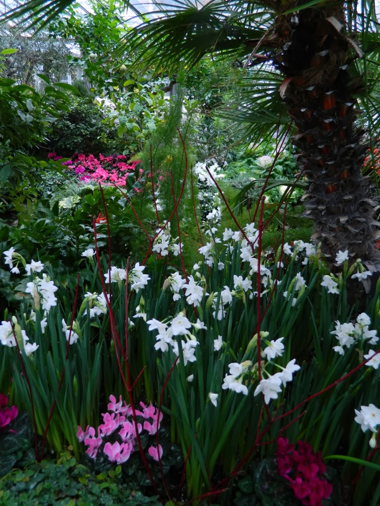 Allan Gardens Conservatory Christmas Flower Show 2013 paperwhites by garden muses: a Toronto gardening blog