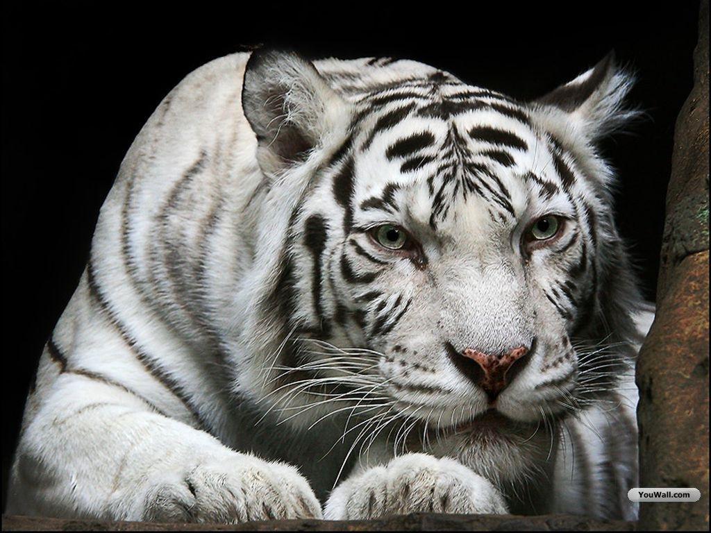 white tiger 1 English close back to top back share big bang black jaguar white tiger  foundation steel 44 mm big bang black jaguar white tiger foundation steel.