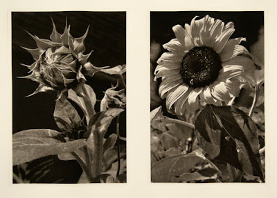 photogravure diptych of the husk and bloom of a sunflower.  (by Scott Barnes)