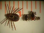 American dog tick with blacklegged tick male, female, and nymph (bltfam and dog)