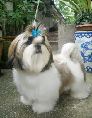 Shih  Puppies on Funny Shih Tzu Puppies New Photos 2012   Funny Animals