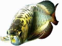 Have Problems Keeping Your Arowana Fish Healthy And Alive?