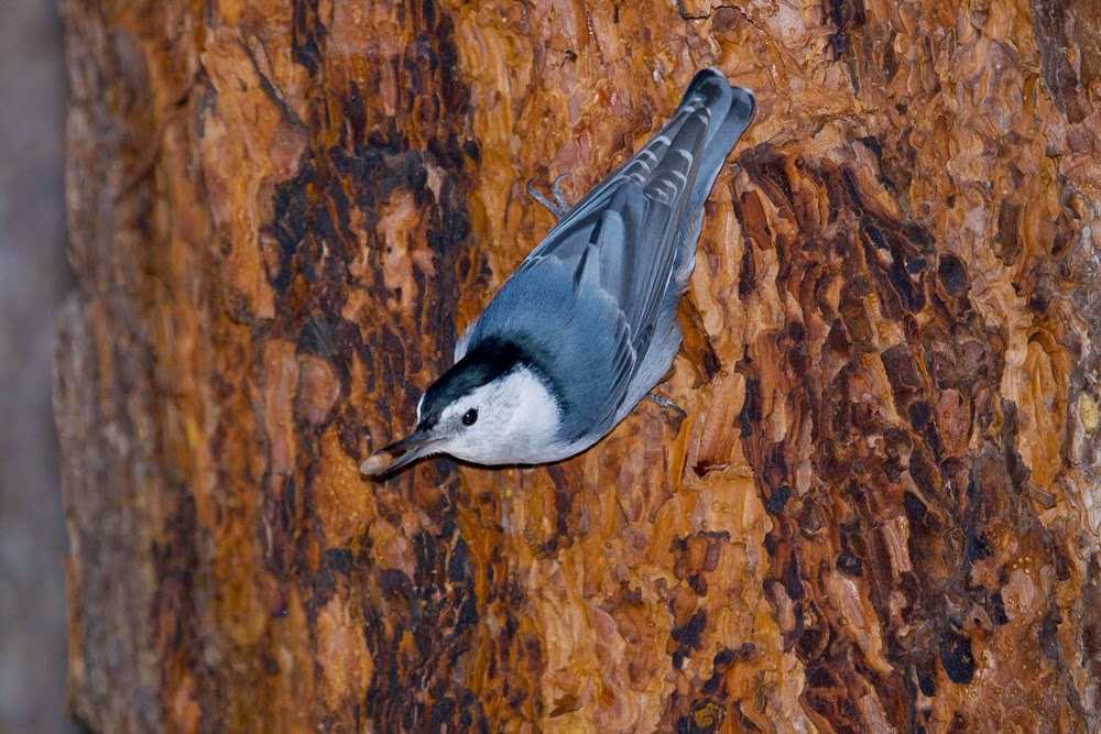 http://climate.audubon.org/birds/whbnut/white-breasted-nuthatch