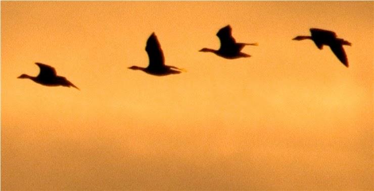 Fila de cuatro ánsares comunes (Anser anser) volando en el cielo de Doñana al atardecer. Fotografía de Héctor Garrido - www.hectorgarrido.com. ©Héctor Garrido